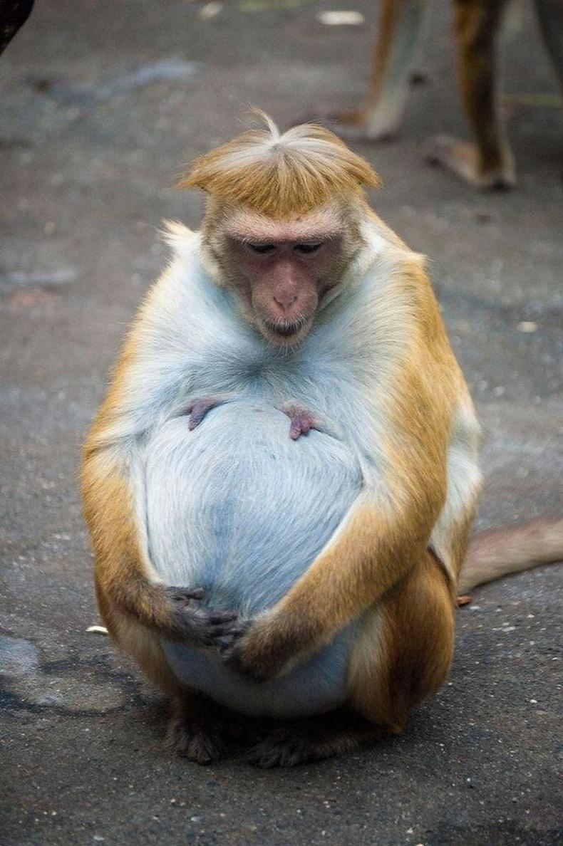 Сармагчин ихэр монш төрүүлэх нь маш ховор