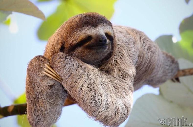 Залхуу сармагчин (Sloth)