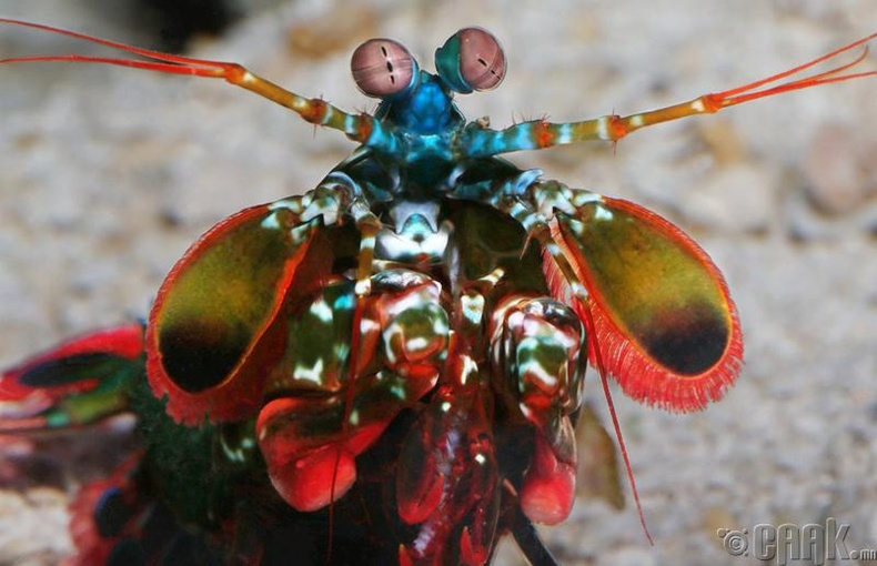"""""""Mantis shrimp"""" бууны сум"""