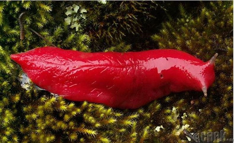 Австралийн маш том, неон ягаан өнгөтэй авгалдай
