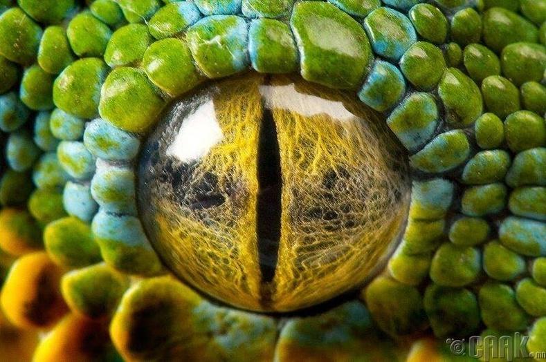 Питон могойн нүд