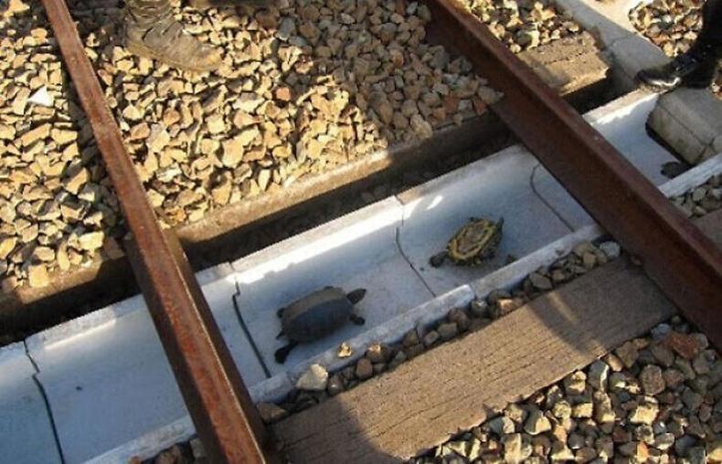 Төмөр замын доогуур яст мэлхийнүүдэд зориулж тусгай туннель гаргаж өгчээ.