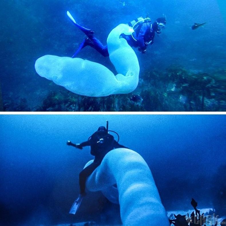 Аварга том, тунгалаг далайн өт