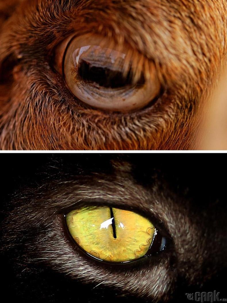 Махчин амьтдын хүүхэн хараа босоо байдаг нь олзоо илүү хурдан олж харахад тусалдаг.