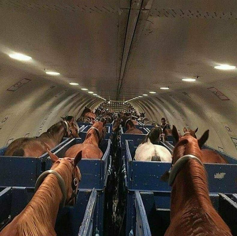 Адууг онгоцоор ингэж тээвэрлэдэг