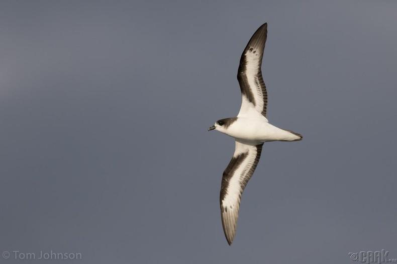Бермудийн салхич шувуу