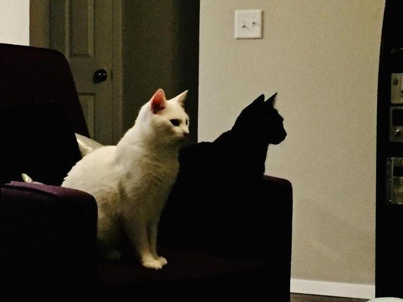 Хар муур өөр нэг муурны сүүдэр шиг харагдаж байна