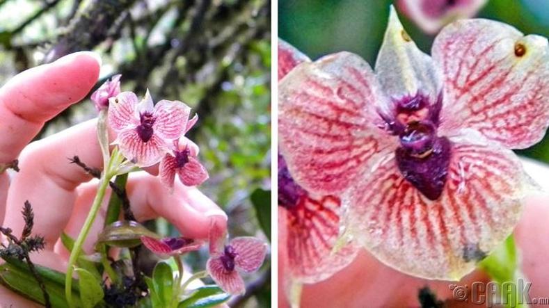 Зарим төрлийн цахирмаа цэцгийг чөтгөрийн ургамал гэж нэрлэдэг
