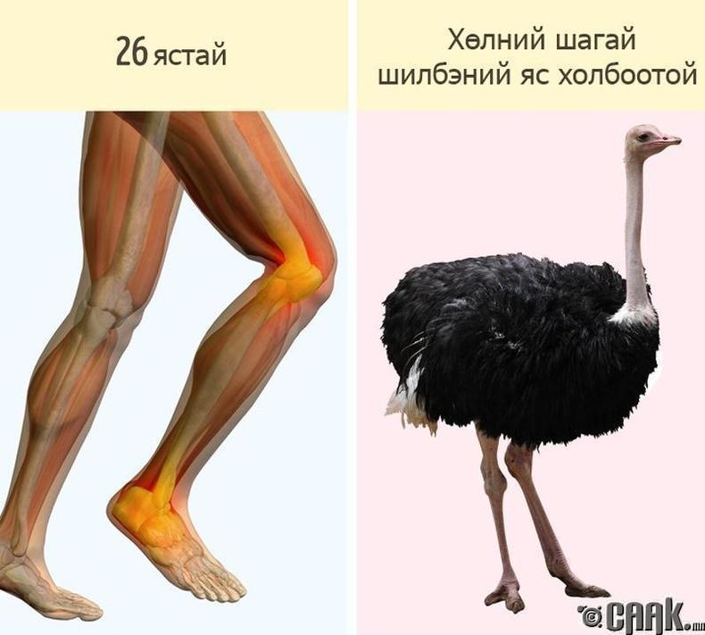 Хөл бол маш адармаатай эрхтэн