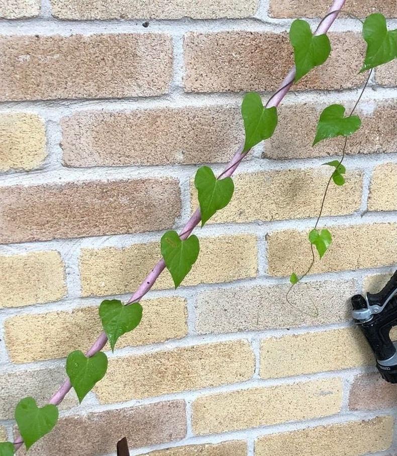 Зүрхэн навчтай усан үзмийн мод