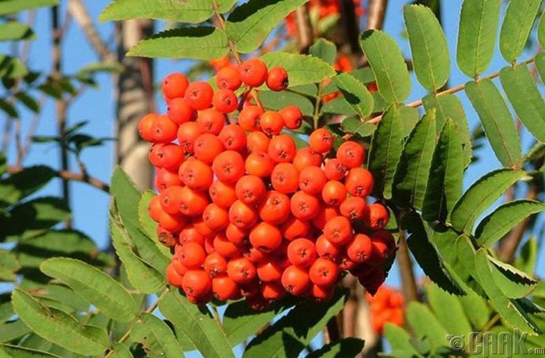 Сэндэн хадир мод (Rowan Trees)