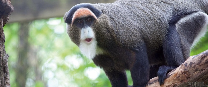 """7000-10000 ам долларын үнэтэй """"De Brazza"""" сармагчин"""