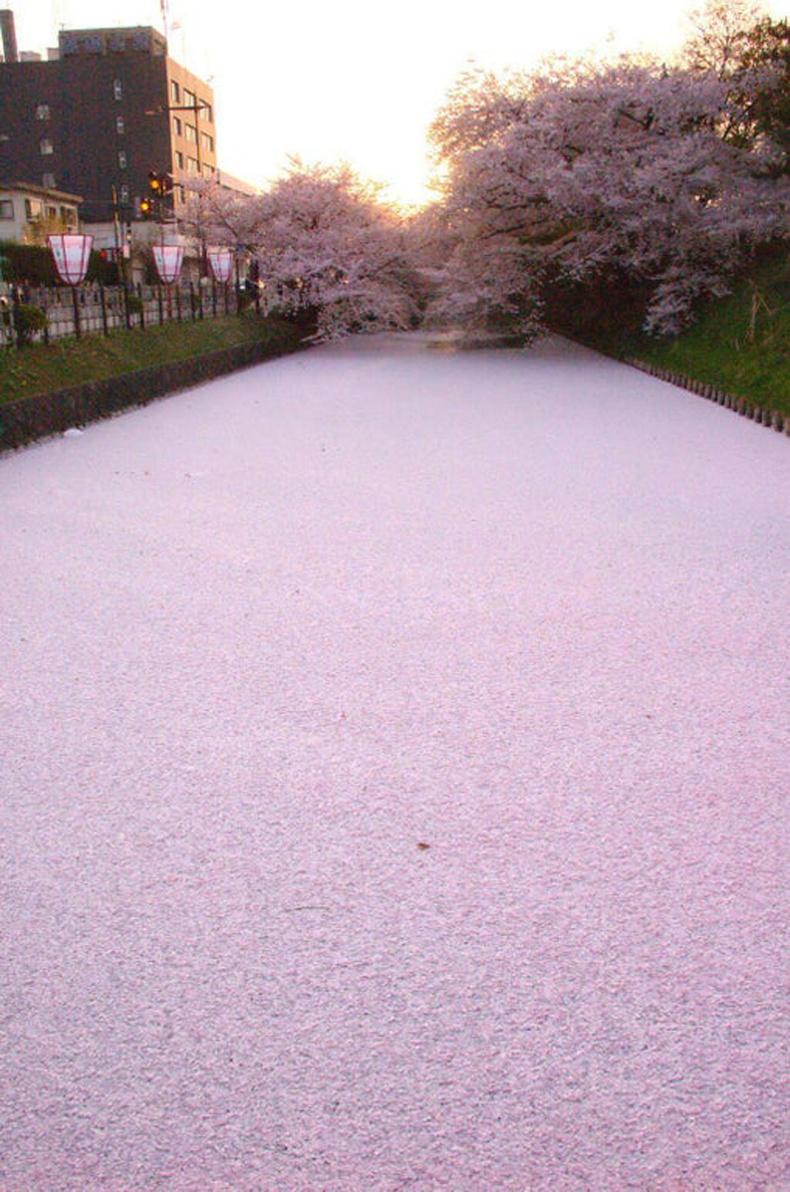 Япон дахь нэгэн гол сакурагийн дэлбээгээр бүрэн хучигджээ