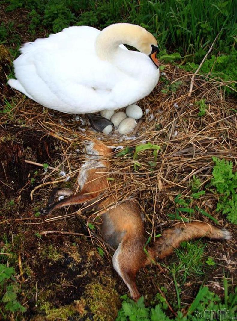Эх хун өндөгнүүдээ хамгаалж чаджээ