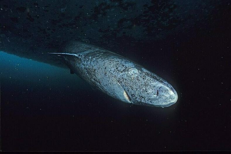 Грийнландын аварга загас - 500 жил