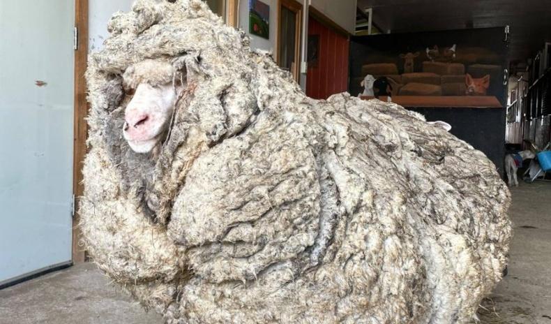 Сүргээсээ зугтаж, зэрлэгшсэн хонь 35 кг ноос өгчээ