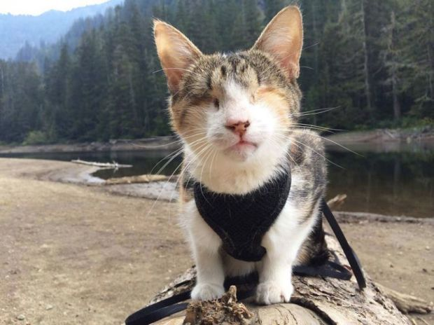 Аялах дуртай хараагүй муур