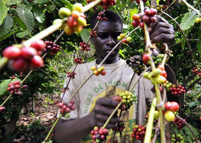 Кофег хэрхэн тарьж ургуулдаг вэ?
