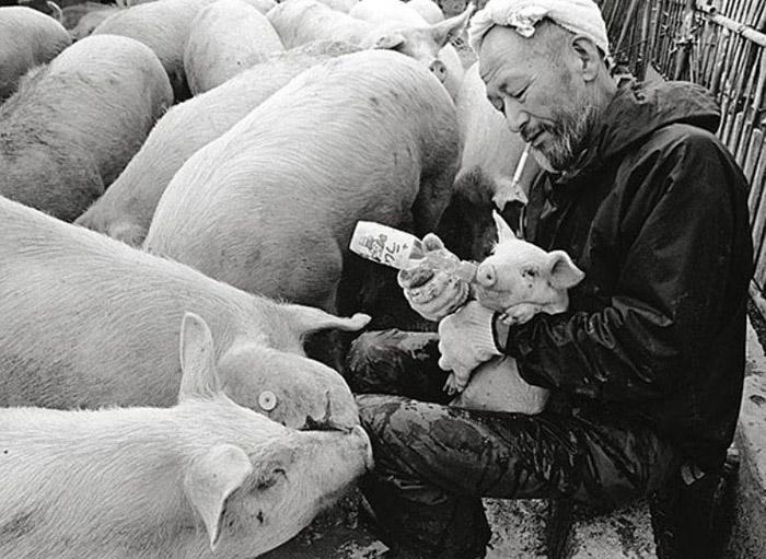 Японы фермер болон гахайн тооройнуудын сэтгэл уярам түүх
