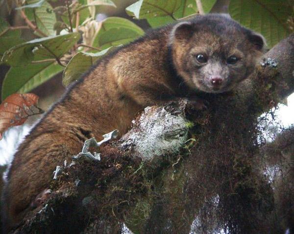 """""""Олингито"""" хэмээх махчин амьтны шинэ төрөл олджээ"""