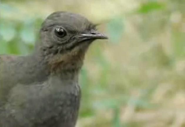 Ийм авъяаслаг жиргэдэг шувууг харсан уу?