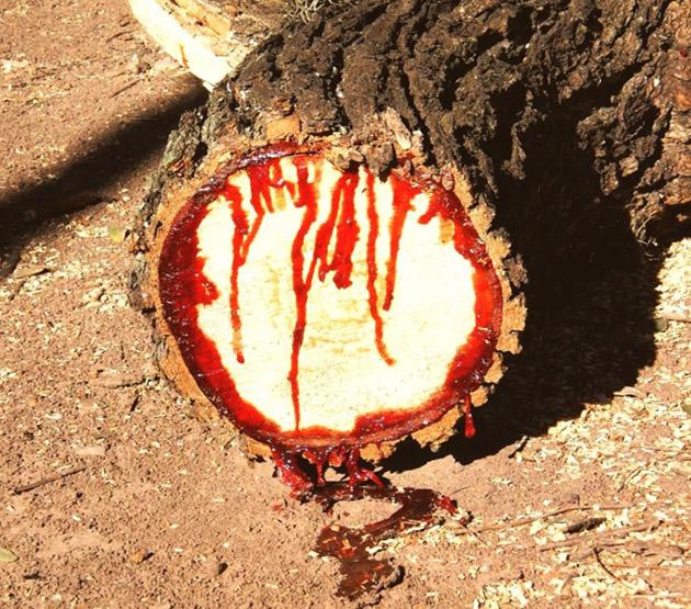 Африкийн цусан мод