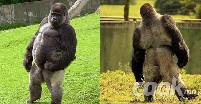 Хүн шиг алхдаг Амбам горилл