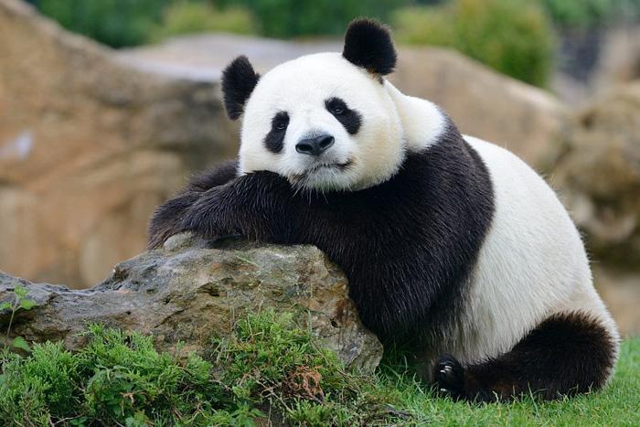 Өхөөрдөм пандаанууд