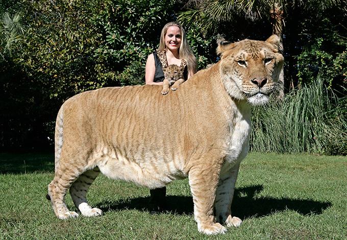 """Дэлхийн хамгийн том """"муур"""""""