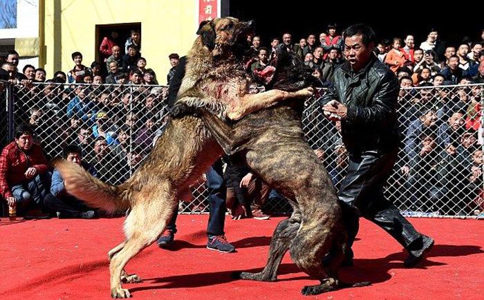 Хятадуудын нохойны харгис тулаан