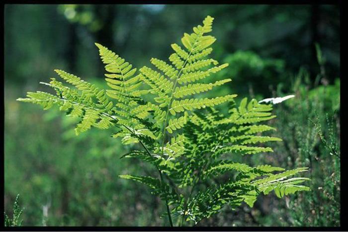 Аз жаргал авчирдаг хамгийн эртний ургамал