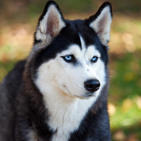 """Дэлхийн хамгийн тэвчээртэй, үнэнч нохой - """"Хаски"""""""