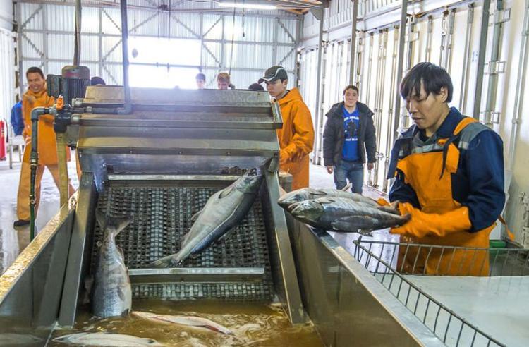 Бидний идэх дуртай загасны түрсийг хэрхэн хийдэг вэ?