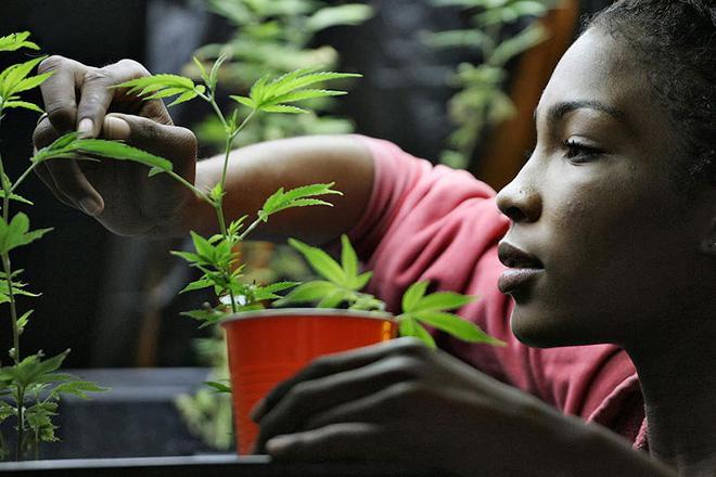 АНУ дахь марихуана