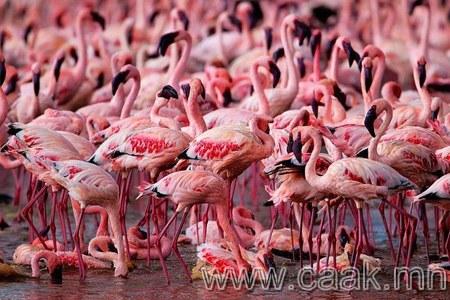 Ягаан фламинго шувууны арал