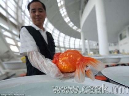 Хятадын алтан загасны уралдаан