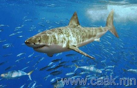 Тэнгис далайг эзэгнэгч цагаан акул